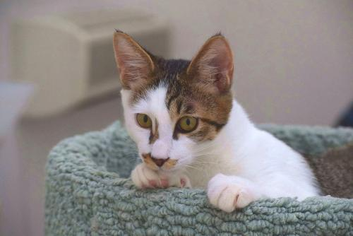 新しい飼い主を待つ保護猫=東京キャットガーディアン