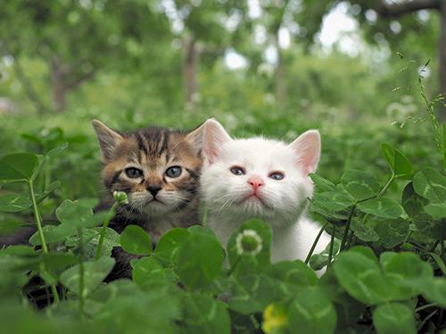 青森のリンゴ農家で生まれた子猫たち (c)Mitsuaki Iwago