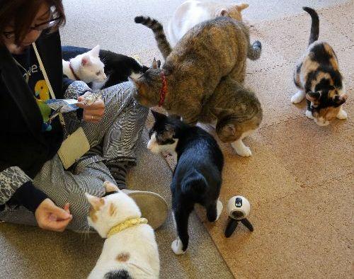 「カフェに来るのが楽しみ」という女性。猫が集まる中にVRカメラ=ねこかつ