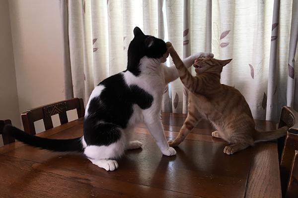 猫は何に反応して攻撃する?「ねこず」(左)と「もち」のケンカ