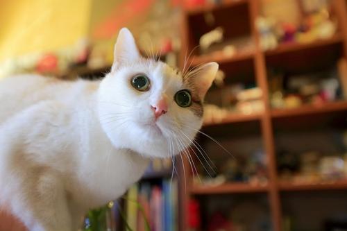 16歳の三毛猫「キリ」はきれいな瞳の女の子 祥伝社/ケニア・ドイ