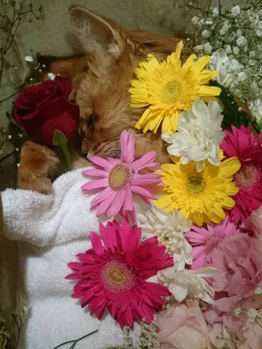 送り出す際に、ソマのまわりを花で彩ってあげた。両手には、深紅のバラ