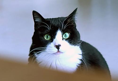 まんまるな瞳が特徴、ハチワレの小鉄
