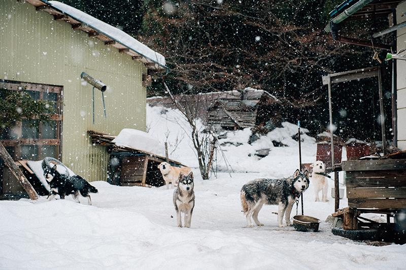 山の上の犬たち。人の訪問に鳴き声が響き渡る(2012年2月19日撮影)