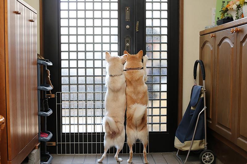 家族の帰宅をいまかいまかと待つ桃(右)とソト=岡本順子さん提供