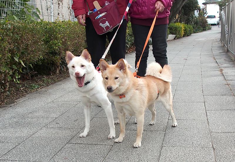 散歩をする桃(右)とソト=岡本順子さん提供