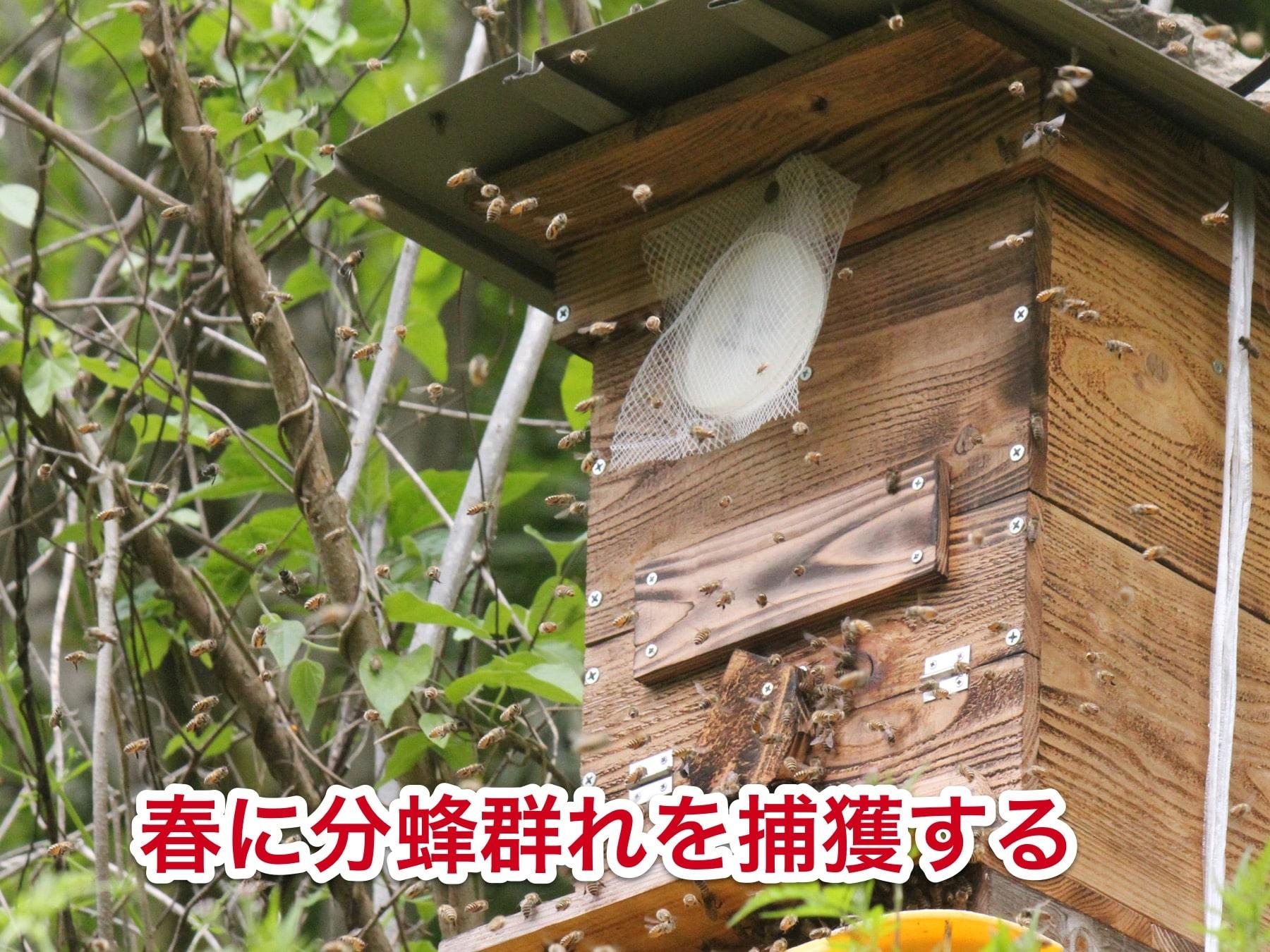 日本蜜蜂は分蜂群れを捕獲する