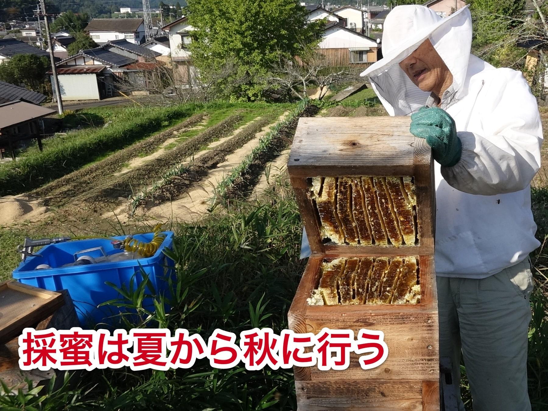 日本蜜蜂の採蜜時期は夏から秋