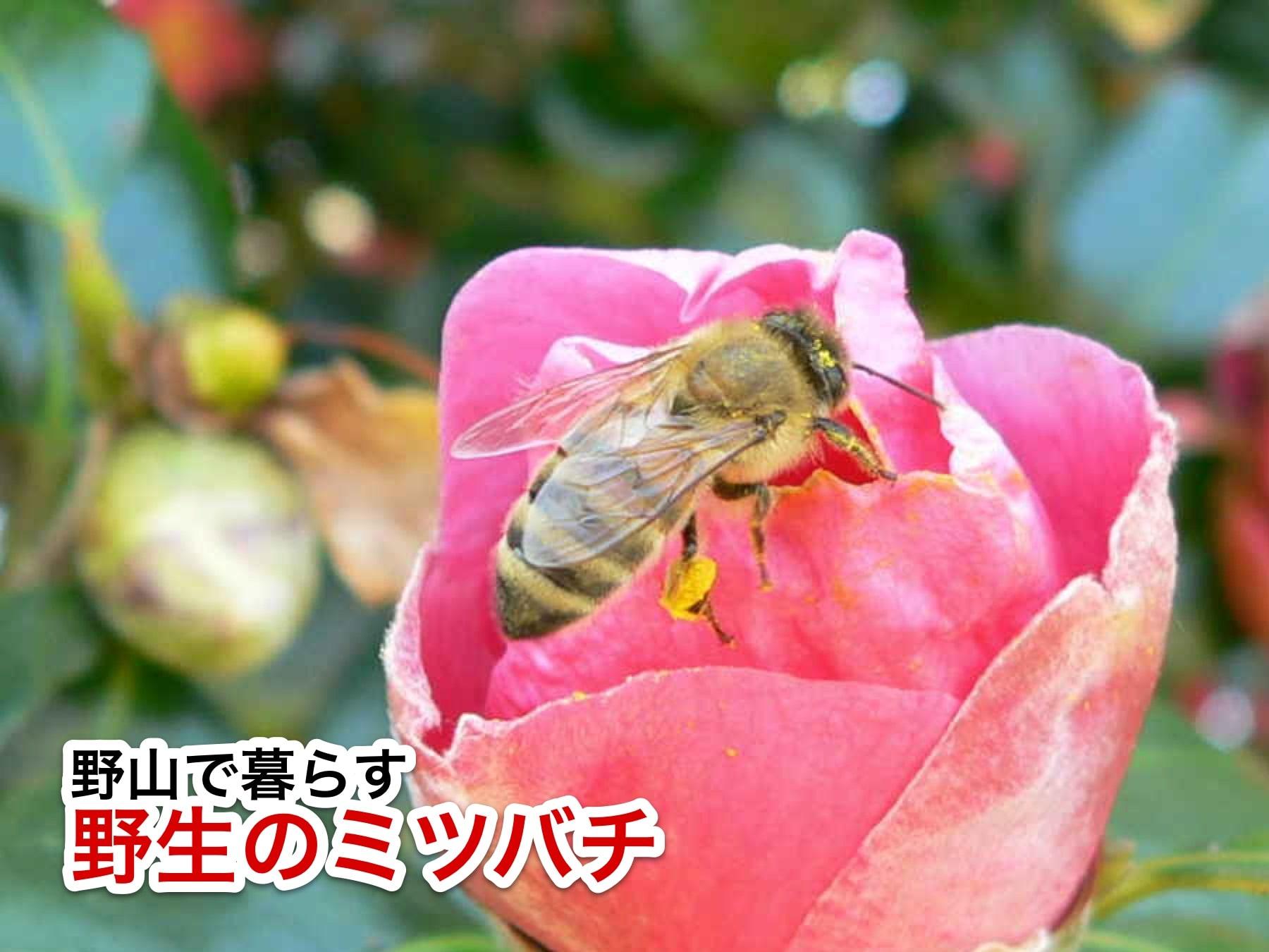 日本蜜蜂は在来種の蜜蜂です