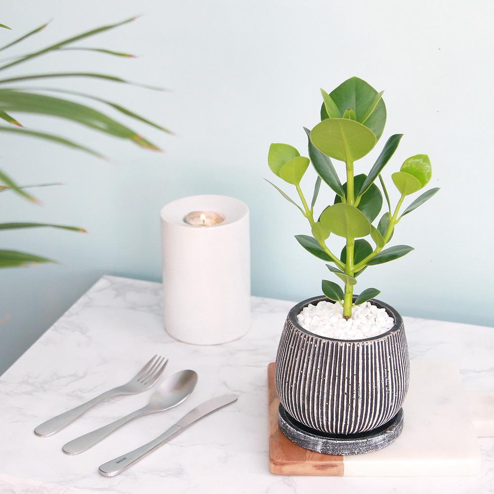 크루시아 엔틱 화분 공기정화식물