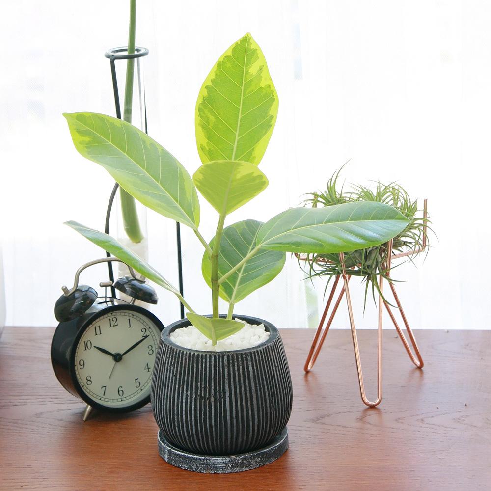 뱅갈 고무나무 엔틱 화분 공기정화식물