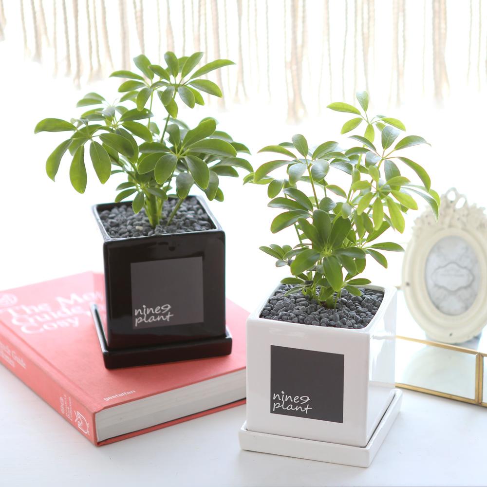 모던 화분 홍콩야자 공기정화식물