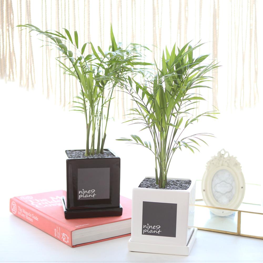 모던 화분 테이블야자 공기정화식물