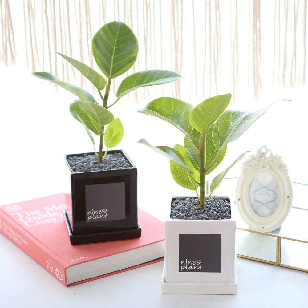모던 화분 뱅갈 고무나무 공기정화식물
