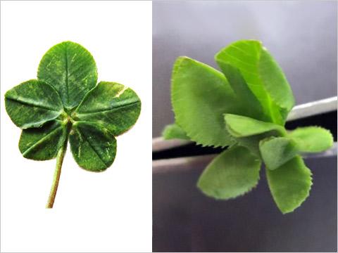 オーキシンという植物ホルモンを投与して育てたクローバー