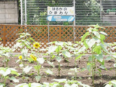 キャンパス内で栽培されている「はるかのひまわり」