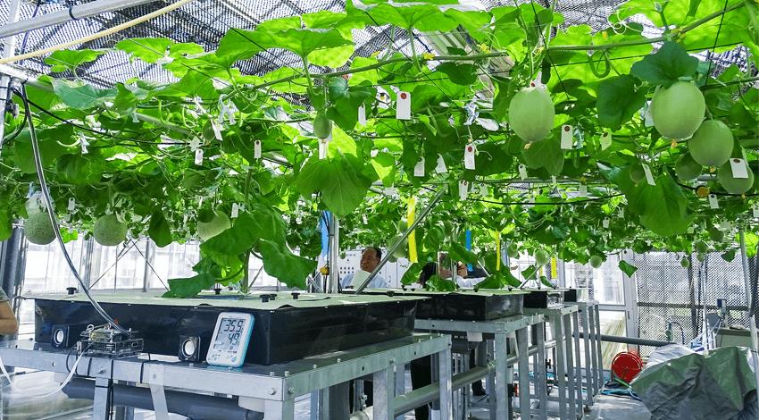 越谷市のメロン水耕栽培、安価でセキュアな環境データ収集を実現