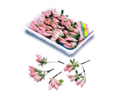 つつじ ピンク(花咲き)