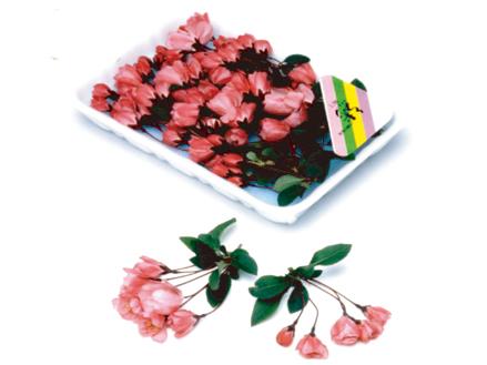 花かいどう桜(3列の満杯詰め)