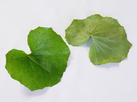 つわぶき葉