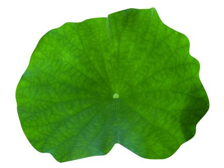 れんこん葉 20cm(50枚入/ケース)