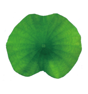 れんこん葉(10~13cm)