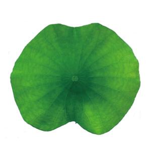 れんこん葉(18~21cm)