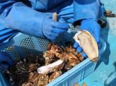 <3.11震災被災地リポート>牡蠣養殖業者の挑戦「顔の見えるお付き合い」が、地域のブランディングにつながる