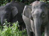 マレーシア相次ぐ野生象の死