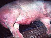 アフリカ豚コレラ北朝鮮で猛威