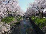 美しいだけじゃない 桜の力