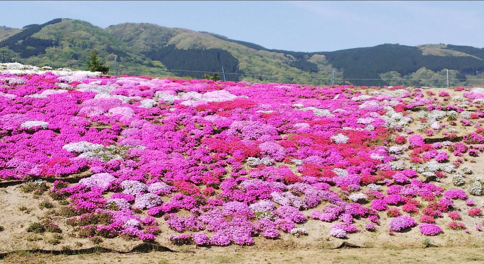 高野花見山