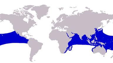 ギンガメアジ