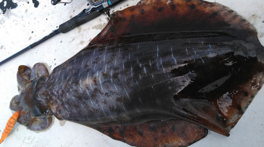 日本海側のイカ