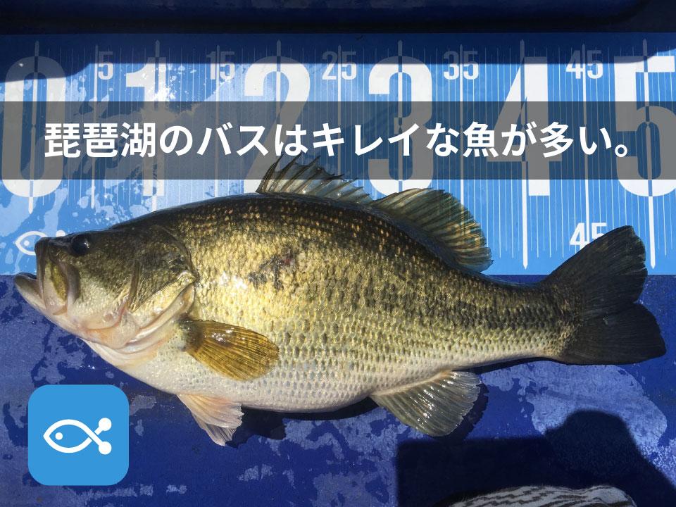 琵琶湖のバスって本当にキレイ。そもそも別の魚だとすら思う。