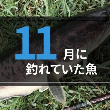 【定期レポート】11月に釣れていた魚を紹介!明日から釣りに行くならこの魚!