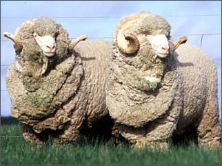 シープスキンとは羊の毛のこと