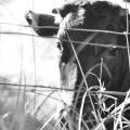 狂牛病は危険性が少ない感染症だった?!なぜ不安は広がったの?