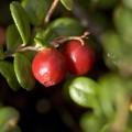 肥満防止や口臭予防に役立つ!リンゴンベリーの食べ方って?