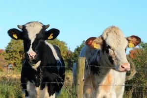cow-1557077_640 牛 乳牛