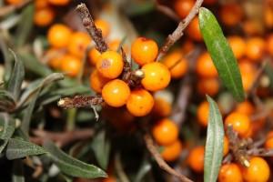berry-1715172_640