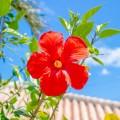 これ一つあれば大丈夫!南国の花、ハイビスカスエキスの美容効果が凄い!