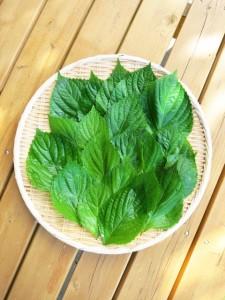 ウワサの健康食材「えごま」とはどんな植物?