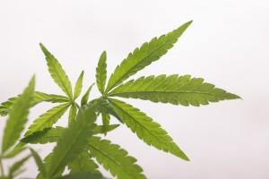 医療大麻って何?