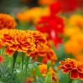 花を楽しむだけではない、マリーゴールドティーの美容効果について