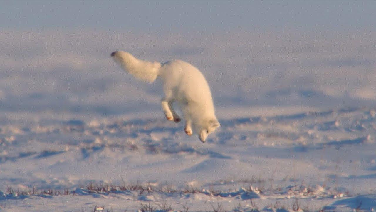 「雪国の小さなハンター奮闘記」- Young Fox Hunting In The Snow