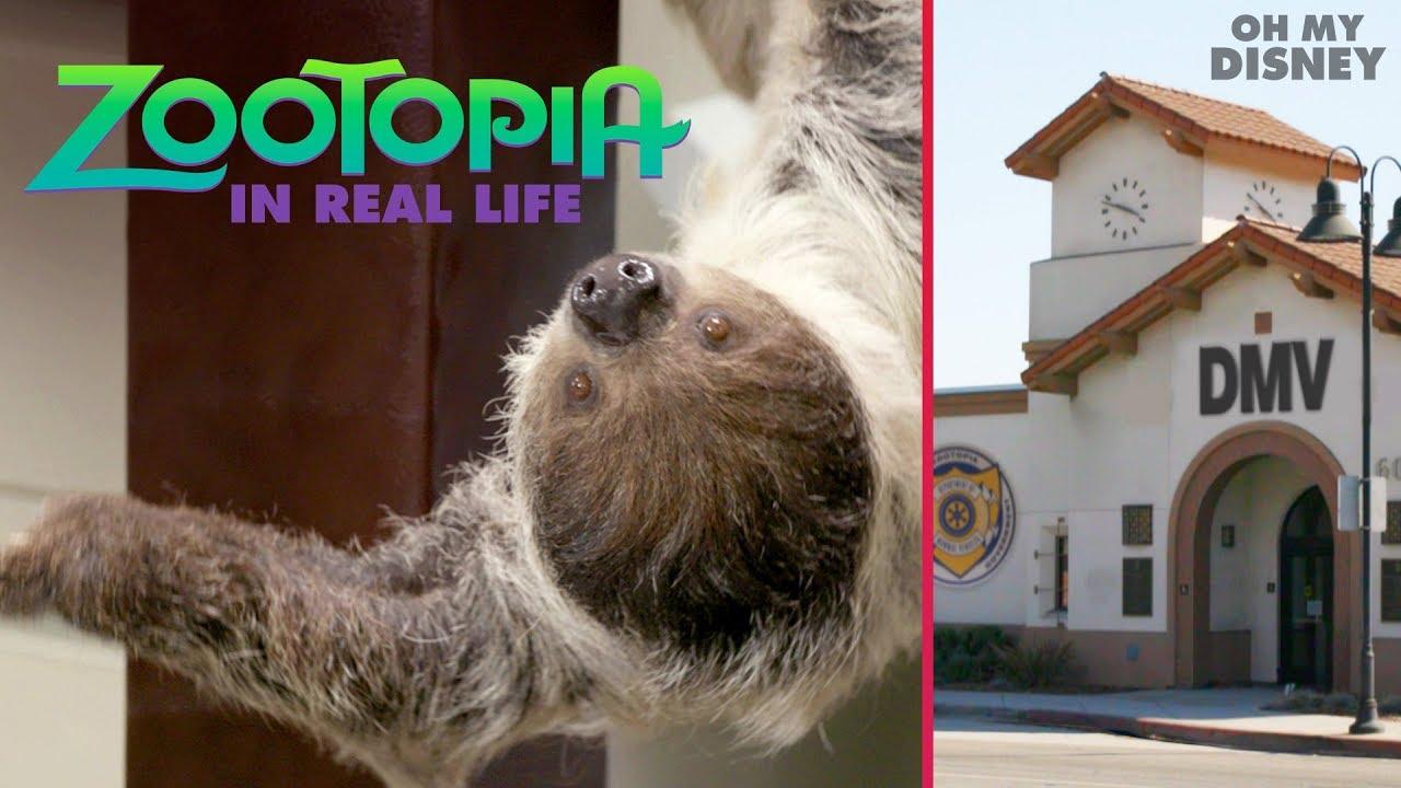 「『ズートピア』のナマケモノ公務員がリアルに?!」- Zootopia IRL