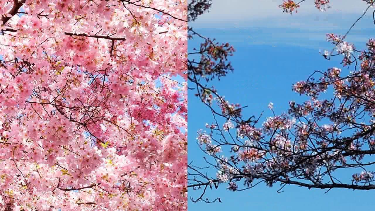「あなたは知ってる?ワシントンD.C.桜祭りをめぐる5つの事実」- National Cherry Blossom Festival Fun Facts