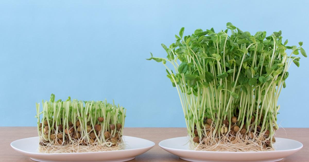 くず野菜を育てて再生する様子を観察してみよう【小学生の自由研究(理科)】