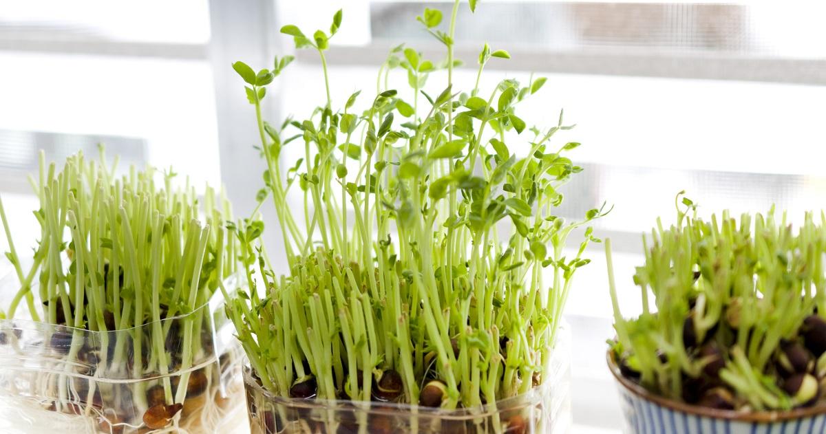 くず野菜を育てる2